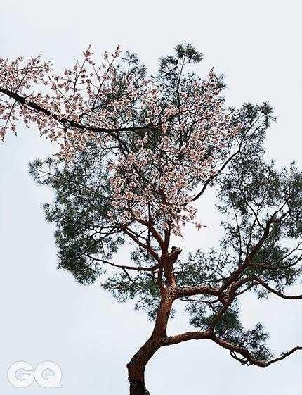 """살구나무와 소나무""""동네서 젤 작은 집 / 분이네 오막살이 / 동네서 젤 큰 나무 / 분이네 살구나무 /밤사이 활짝 펴올라 / 대궐보다 덩그렇다"""" 기억하기로, 열두 살에 펼친 국어 교과서에 이 시조가 있었다. 매화가 지고 벚꽃이 피면 덩달아 살구꽃도 그때 핀다. 벚꽃이 흥얼흥얼 흔들리지만, 살구꽃은 조용히 제자리에 머문다. 밤의 가로등처럼. 한편 소나무는 다갈다갈 솔방울을 달고 선선하게서 있다. <대련 027> 2014."""
