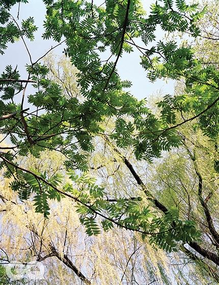 가죽나무와 버드나무가죽나무는 아무 데나 덜컥 나서 훌쩍 자란다. 그런 가죽나무가 한바탕 아름다울 때가 있으니, 한여름 석양에 놓였을 때다. 이파리 사이사이로 석양이 어쩔 줄 모르고 새어 들어올 때의 일렁거림이란. 하지만 아직은 석양이 이른 계절, 가죽나무는 연한 새잎을 내놓고 가만히 기다린다. 지금은 버드나무가 일렁이는 계절이니까. <대련 017> 2014.