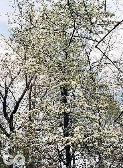 야광나무와 튤립나무맹렬한 벚꽃의 기세가 슬쩍 풀죽어갈 무렵, 야광나무는 갑자기 핀다. 꽃송이가 하나같이 위를 향하고 있으니, 마치 하늘로 올라가는 계단 같지 않은가. 밤에도 빛을 발한다는 뜻으로 붙인 이름이지만, 실제로 야광 효과가 나는 건 아니다. 뒤로는 튤립나무 한 그루가 서 있다. 겨우내 털꽃처럼 피었던 눈에서 이제는 잎이 날 차례다. <대련 021> 2014.